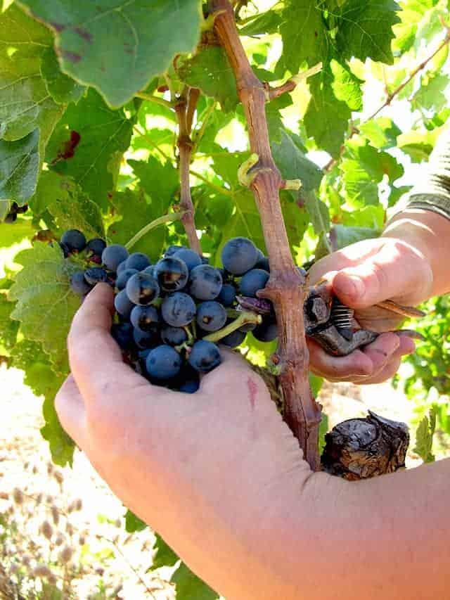 Chateau Aiguiloux handmatig druiven oogsten Wijnhandel Smit
