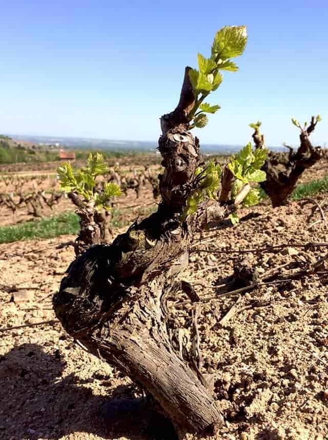 Wijnrank Chateau des Trois Tours Wijnhandel Smit