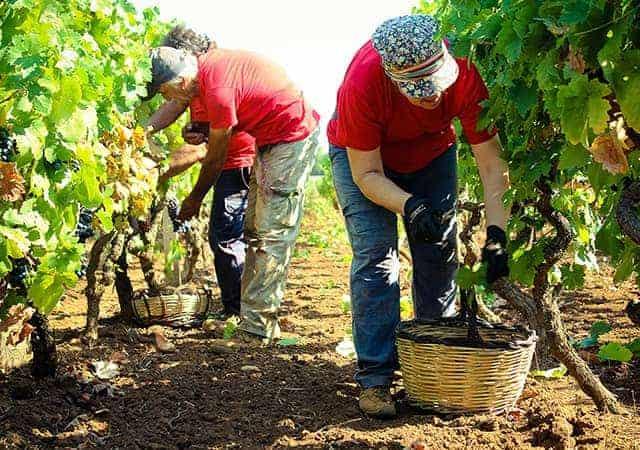 Cantine San Marzano druiven plukken Wijnhandel Smit